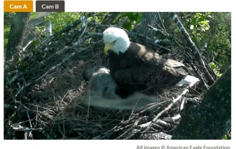 Livestream of Eagles Often Captures More than the Imagination