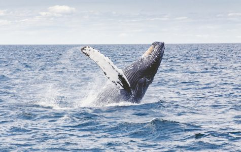 Whale Species in Hot Water