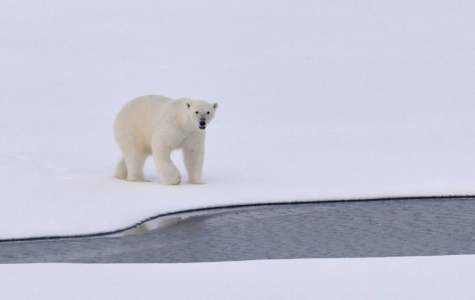 Un-bear-able: Polar Bears Struggle Through Climate Change